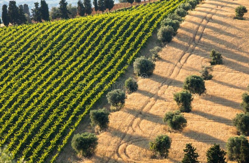 Panoramiczny widok oliwni gaje, winnicy i gospodarstwa rolne na tocznych wzgórzach Abruzzo, zdjęcie royalty free