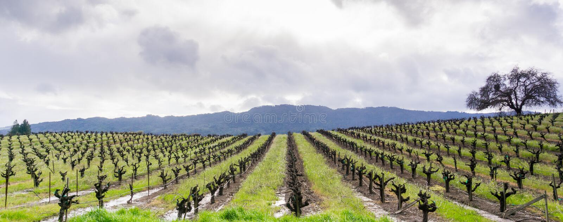 Panoramiczny widok winnica w Sonoma dolinie na początku wiosny, Kalifornia obrazy stock