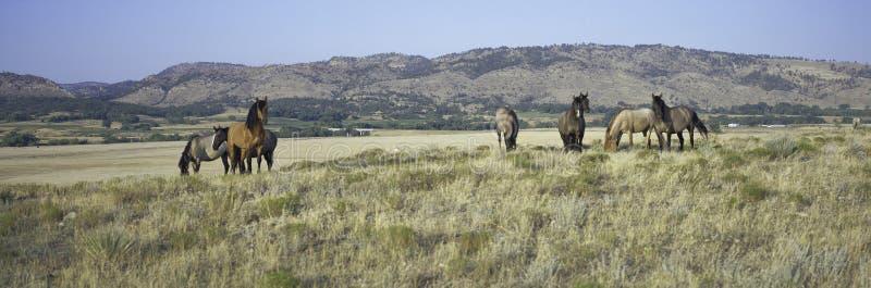 Panoramiczny wizerunek dzicy konie zdjęcia royalty free
