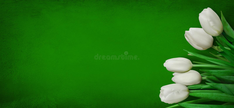 Panoramiczny Zielony tło z białymi tulipanowymi kwiatami zdjęcia royalty free