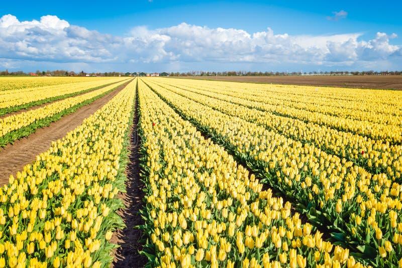 Panoramisch beeld van een groot gebied met het heldere gele bloeien Turkije stock foto