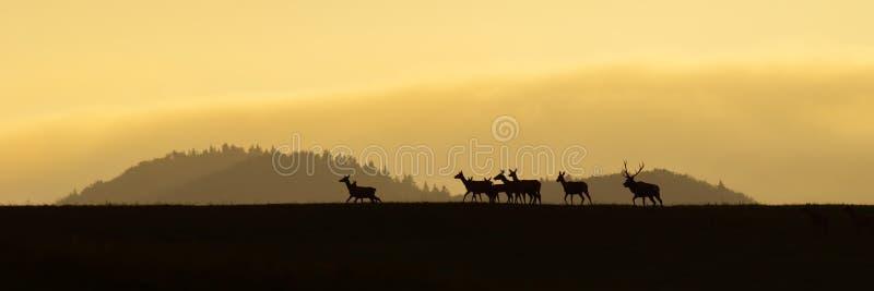 Panoramisch landschap van rode hertenkudde die op een horizon bij zonsopgang lopen stock afbeeldingen