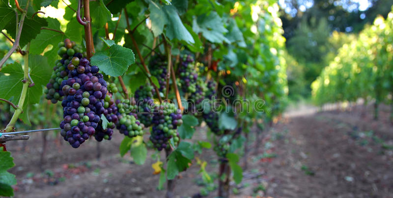 Download Panoramisch Van De Druiven Van De Pinot Noir Stock Foto - Afbeelding bestaande uit wijn, massa: 10776060