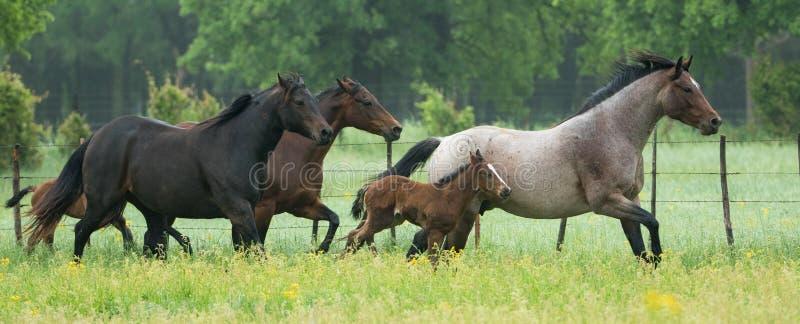 Panoramisch von der Pferdeherde, die in grünes Feld läuft stockfotos