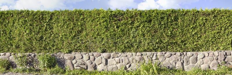 Panoramische beeld van Thuja het groene hagen stock fotografie