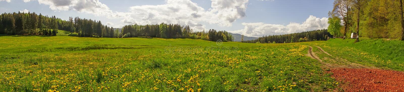Panoramische Fotografie des Löwenzahnfeldes mit Kieferwald b stockbilder