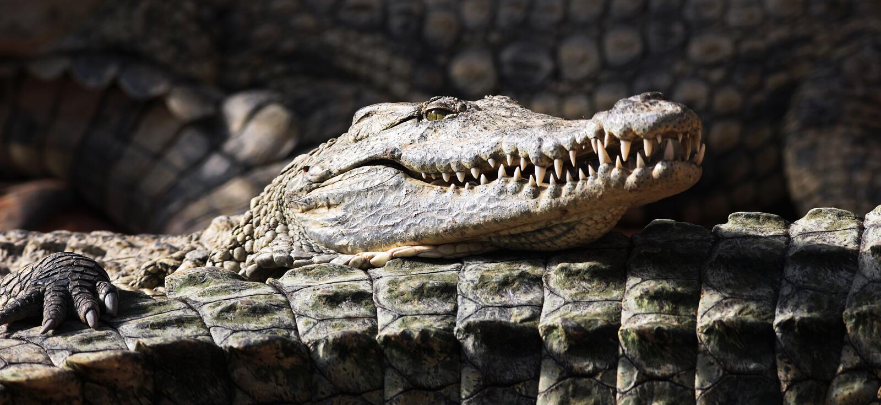Panoramische krokodil stock foto