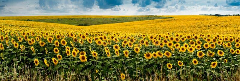 Panoramische Landschaftsansicht mit einem Feld von Sonnenblumen lizenzfreies stockfoto