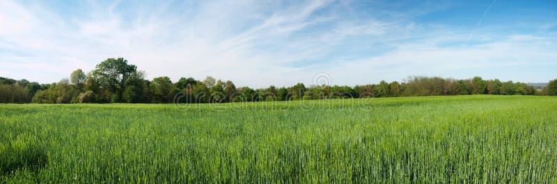 Panoramisches Feld der grünen Gerste stockbild