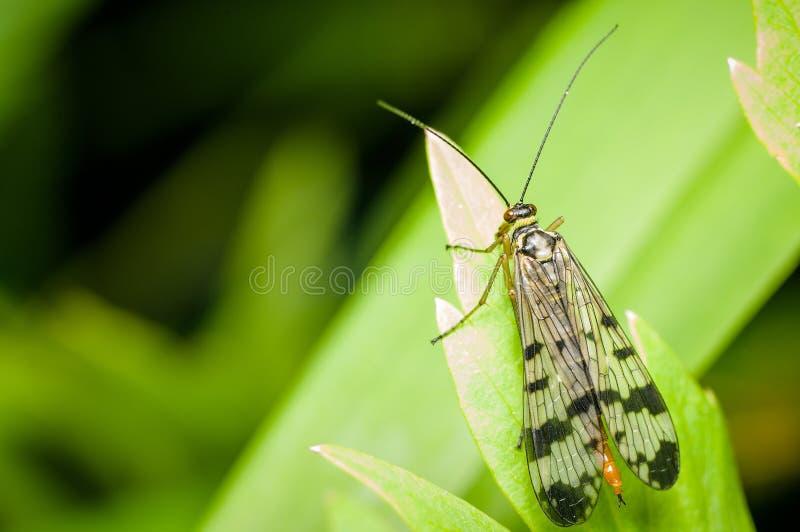Panorpa op een groen blad - Geleedpotigemacro royalty-vrije stock afbeeldingen