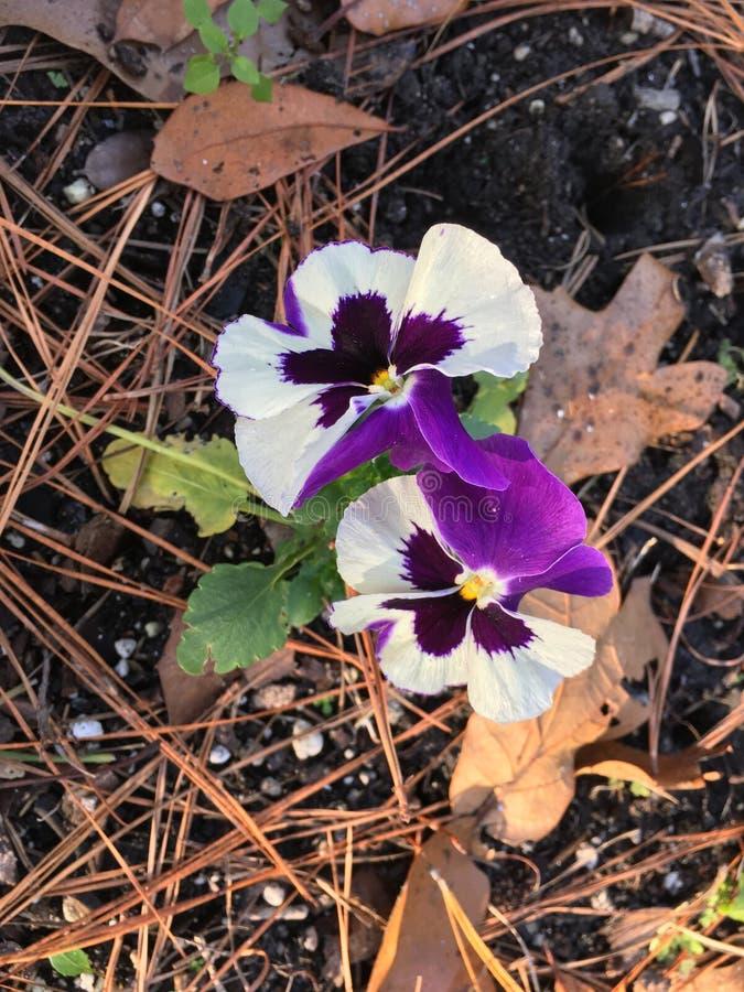Pansias em um jardim de inverno imagens de stock royalty free