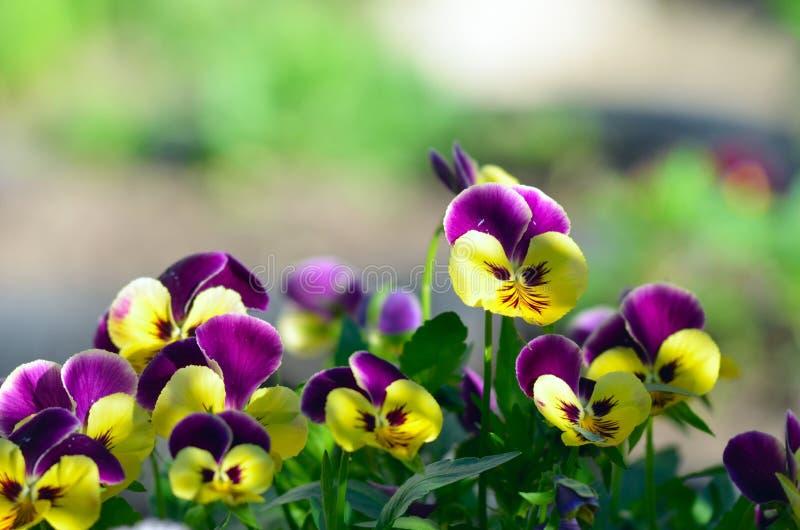Pansies σε έναν θερινό κήπο στοκ εικόνα με δικαίωμα ελεύθερης χρήσης