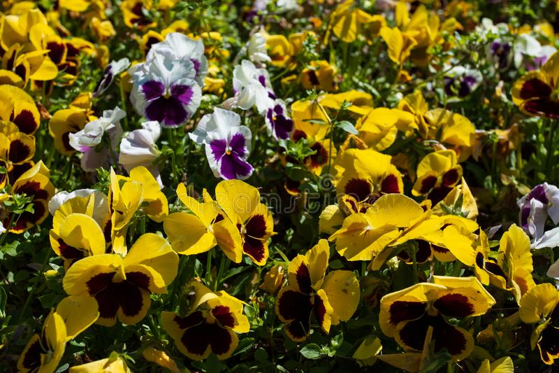 Pansies изумляя цветок и свою комбинацию мульти-цвета большие Фиолет Pansy Виола Wittrockiana Красивые пестротканые pansies стоковое изображение
