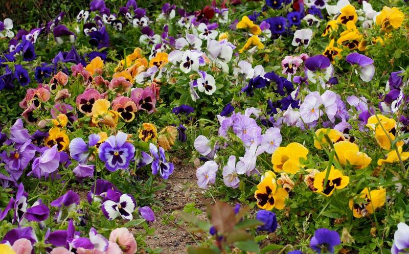 Pansies много цветов растя весной стоковое изображение rf