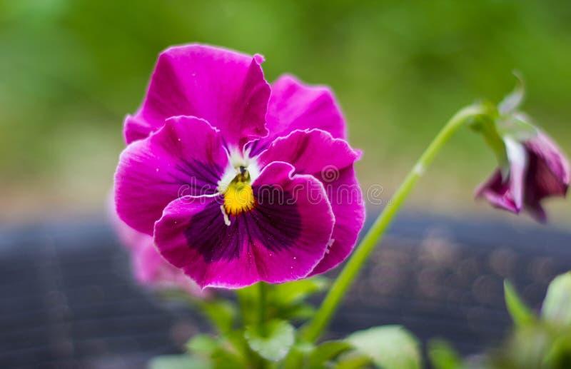 Pansies одного красивые розовые цветка на естественной зеленой предпосылке r Розовый альт сирени стоковые фото