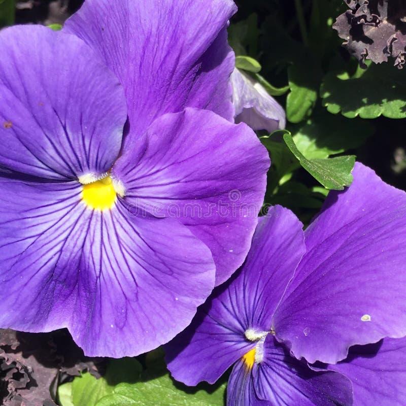pansies пурпуровые стоковое фото rf