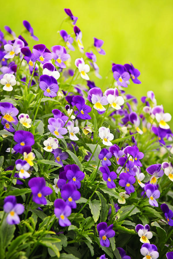 Download Pansies Stock Photos - Image: 19202053