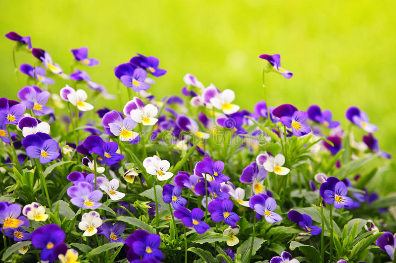 Pansies stock photography
