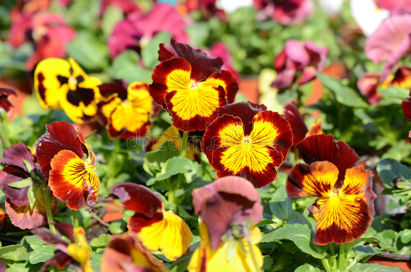 Download Pansies stock photo. Image of spring, close, selected - 25688186