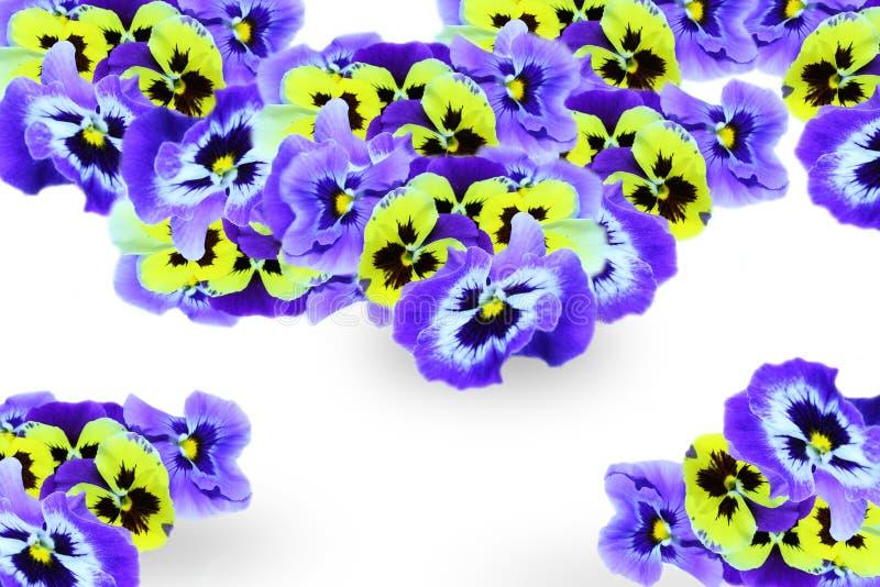 pansies arkivbild