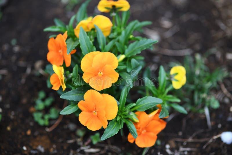 Pansies alaranjados no jardim imagem de stock royalty free