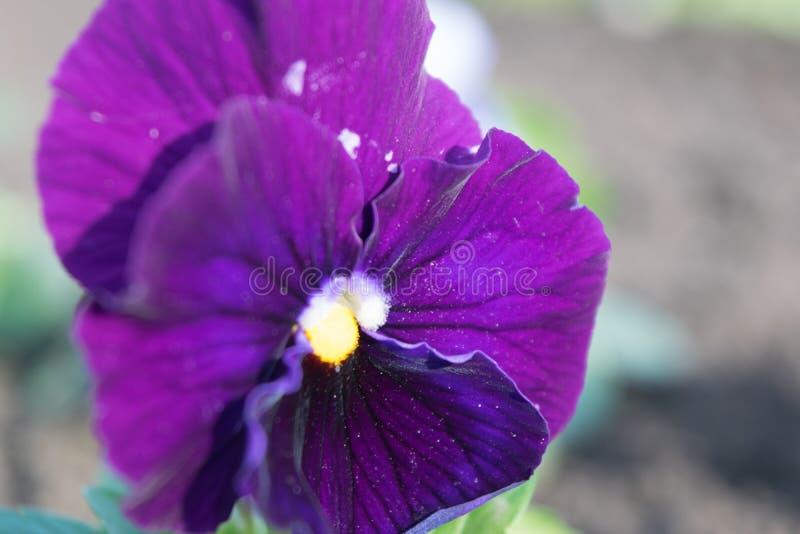 Pansies altfiolfolioark royaltyfria foton
