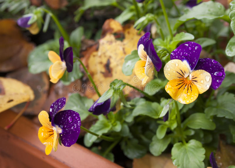 Pansies and autumn leaves royalty free stock photos