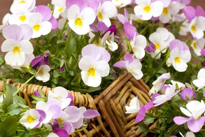 Download Pansies basket stock image. Image of close, botany, wild - 22493065