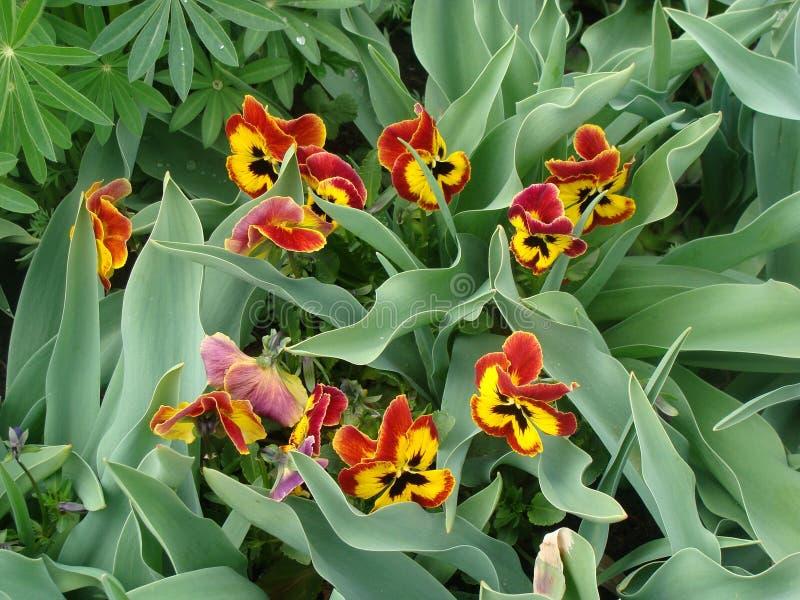 Download Pansies stock photo. Image of flower, botany, seasonal - 40070708