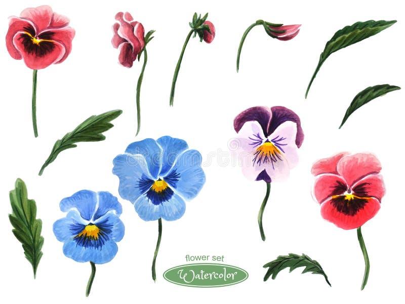 Pansies, cabeças de flor, folhas, botões Isolado no fundo branco ilustração stock