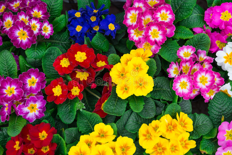 Pansies colorati immagine stock libera da diritti