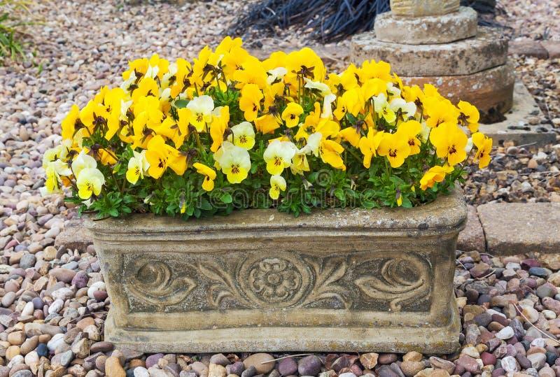 Pansies de florescência na calha de pedra fotos de stock royalty free