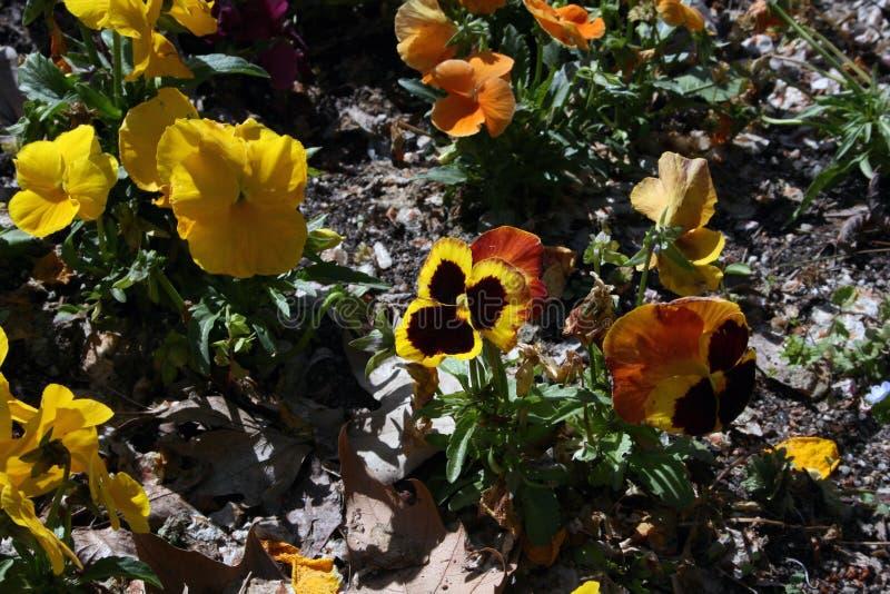 Pansies, de de winterbloem royalty-vrije stock foto