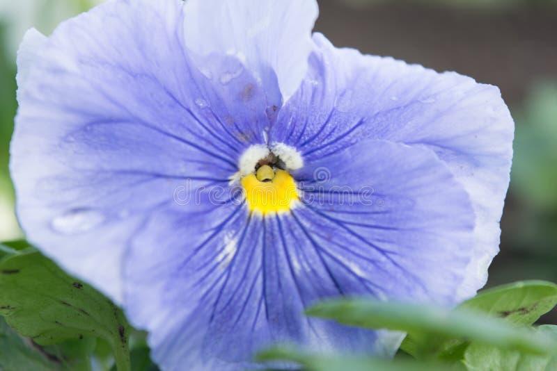 Pansies delikat altfiol royaltyfria bilder