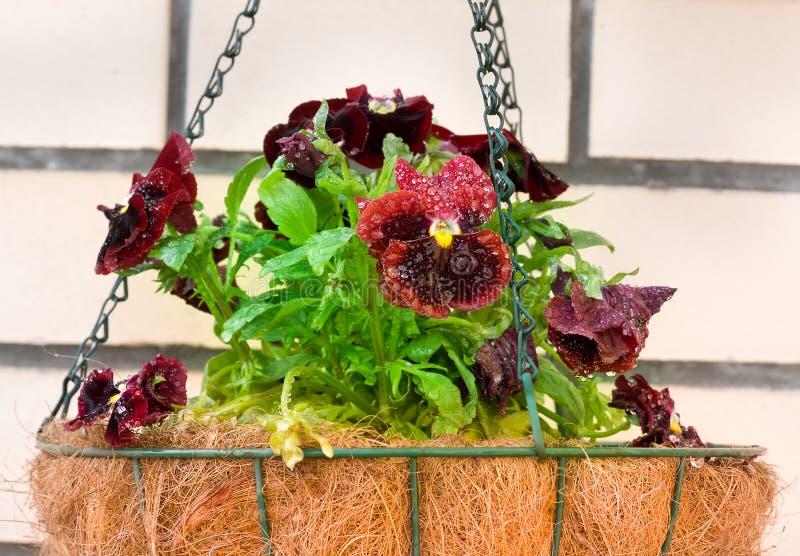 Pansies in flower hanging basket stock image