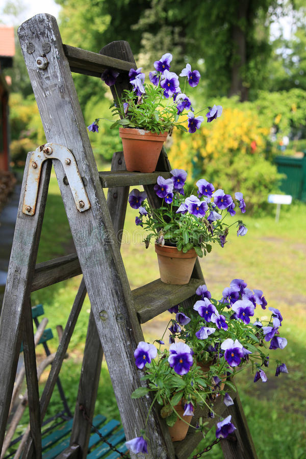 Pansies in flower pots decorated on an old wooden ladder in the garden stock images