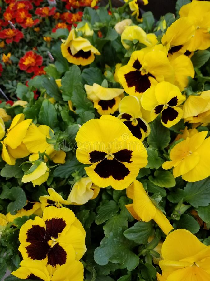 Pansies, Frühlings-Blumen lizenzfreies stockfoto