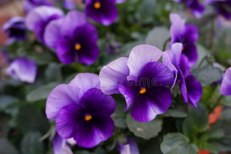 Pansies in the garden stock images