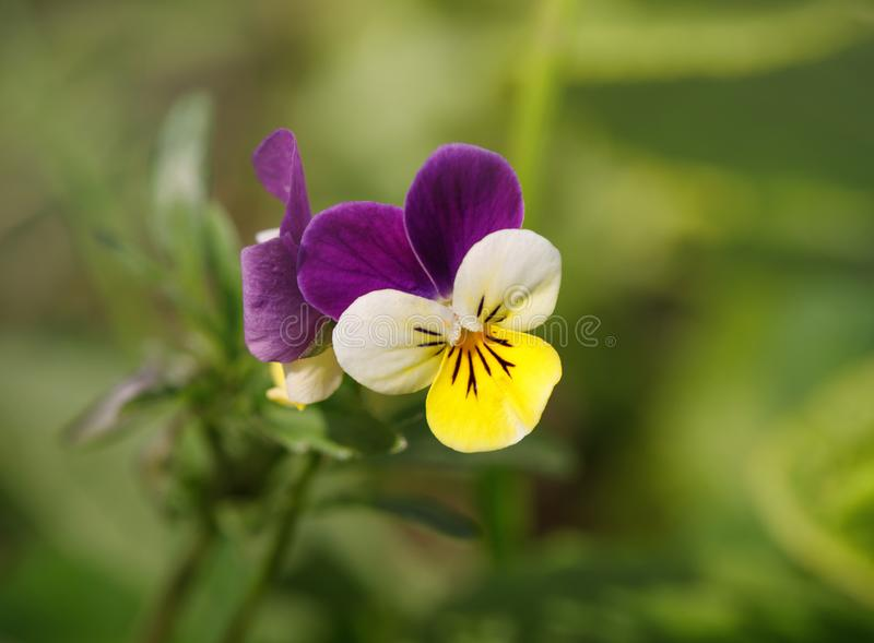 Pansies on a green natural background closeup. Flowering Violet tricolor, pansy, heartsease. stock image
