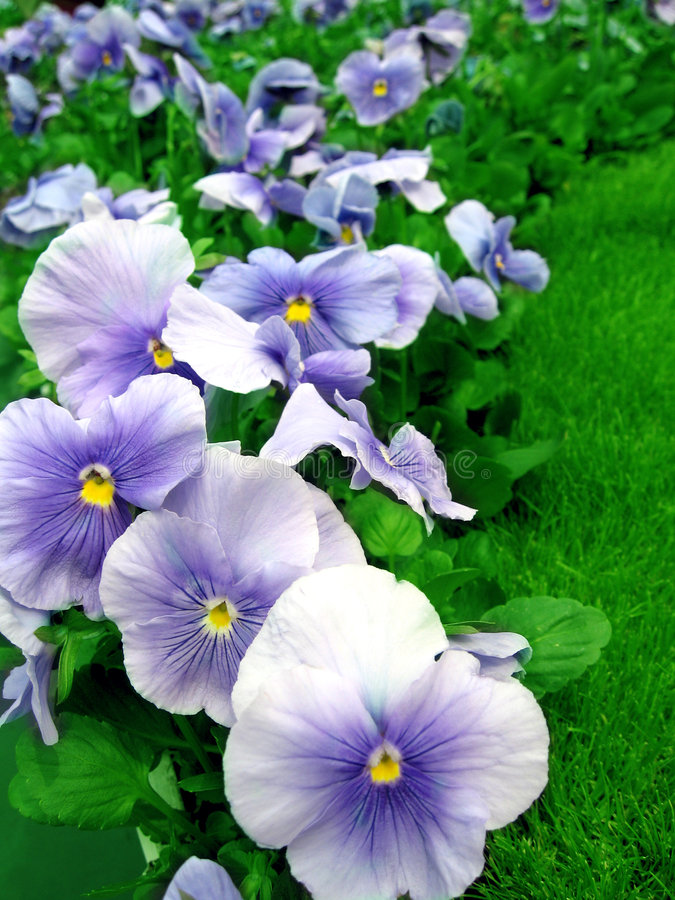 Free Pansies In Garden Royalty Free Stock Photo - 952415