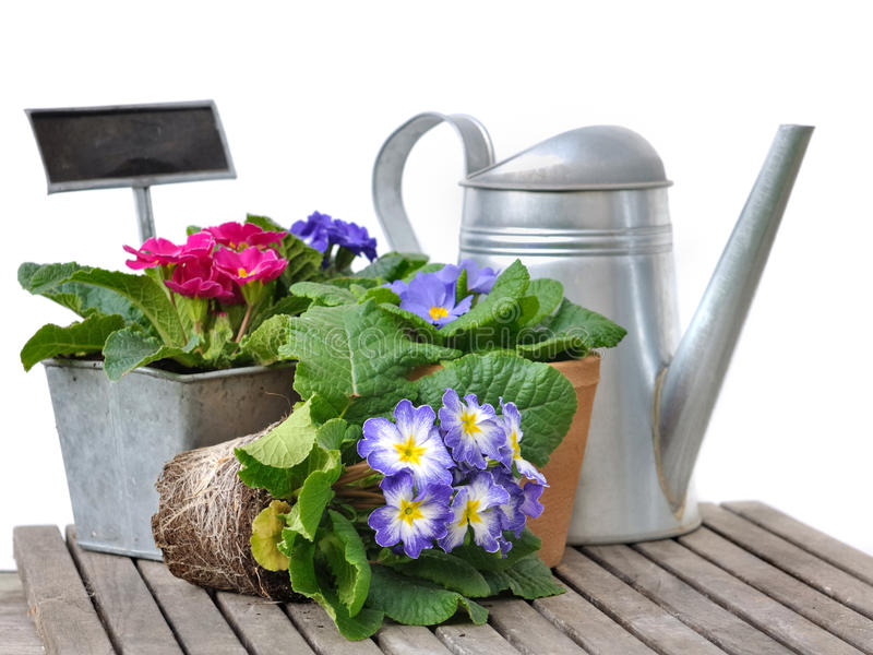 Pansies in pot royalty free stock photography