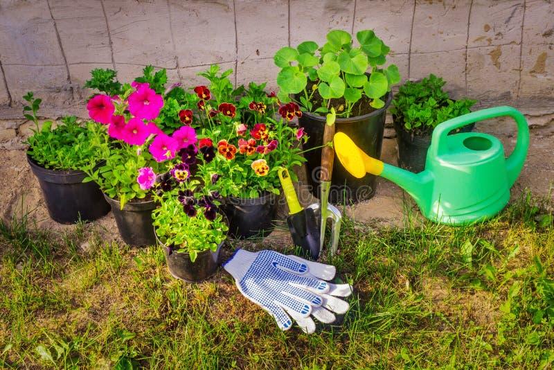 Pansies, różowe petunie, astery Kwiaty w flowerpots Kraju inwentarz Uprawiać ogródek obraz stock
