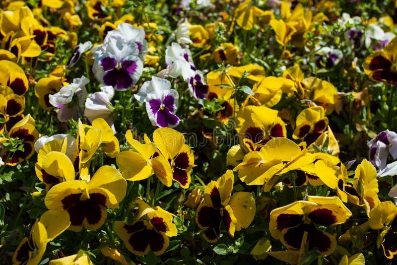 Pansies som förbluffar blomman och dess mång--färg kombination, är stora Viola Wittrockiana Pansy Violet Härliga mång--färgade pa fotografering för bildbyråer