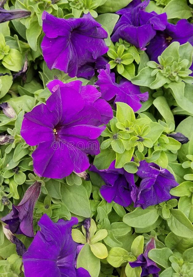 Pansies, Spring Flowers royalty free stock photography