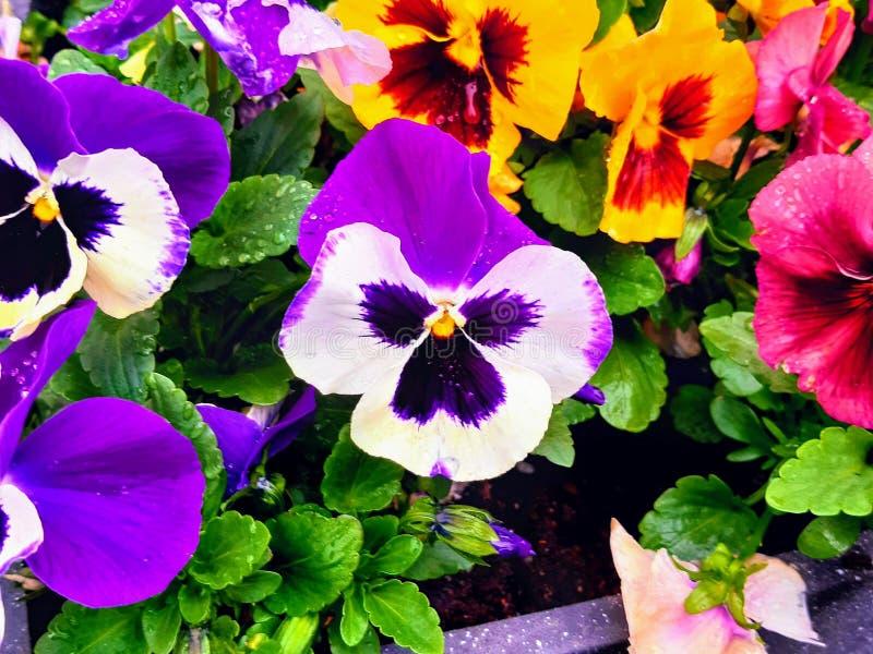Pansies variopinti immagine stock