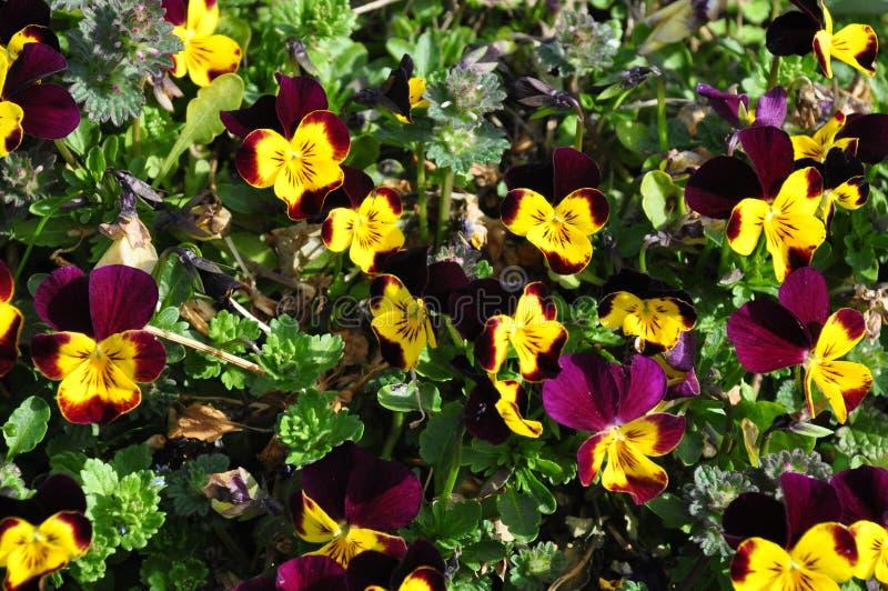 Pansies viola e gialli fotografia stock