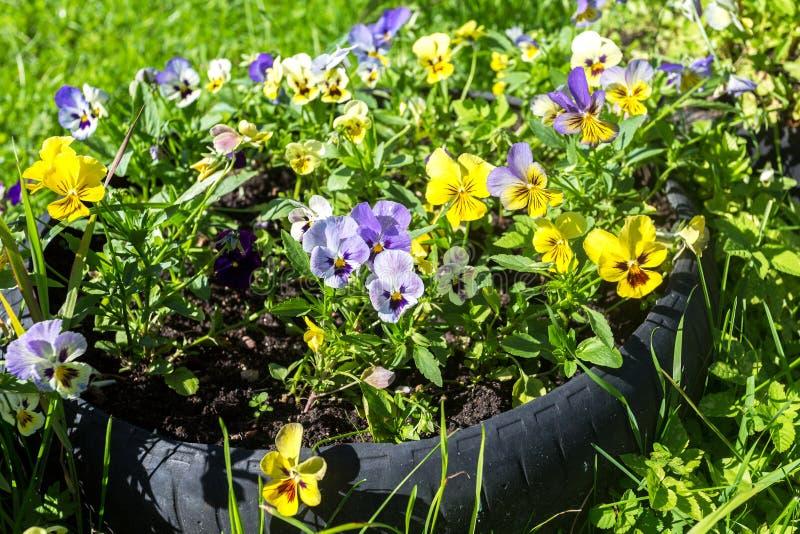 Pansies or Violas growing on the flowerbed in summer g. Beautiful Pansies or Violas growing on the flowerbed in summer garden stock image