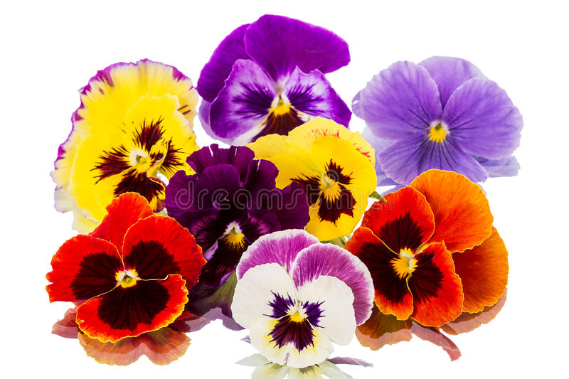 Download Pansies on  white stock photo. Image of close, colored - 31539708