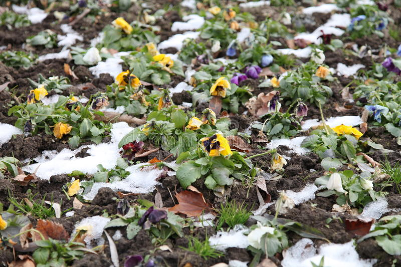 Pansies in winter royalty free stock photo