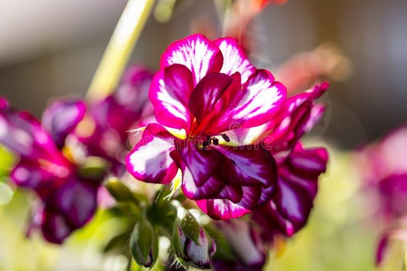 Pansiesbloemen, aardige rode randen royalty-vrije stock afbeeldingen